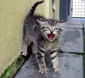 Fearful kitten with arched back